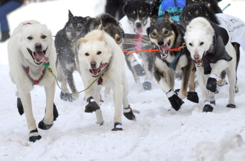 Musher Kelly Maixner's dog team races down Cordova Street at the ceremonial start of the 2011 Iditarod Trail Sled Dog Race which begins on 4th Avenue in Anchorage, Alaska. The ceremonial start kicks off the 1,150-mile race to Nome.