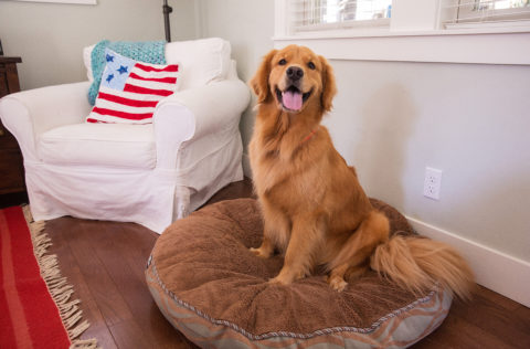 A Golden Retriever dog sits on a brown dog bed with a white chair behind him
