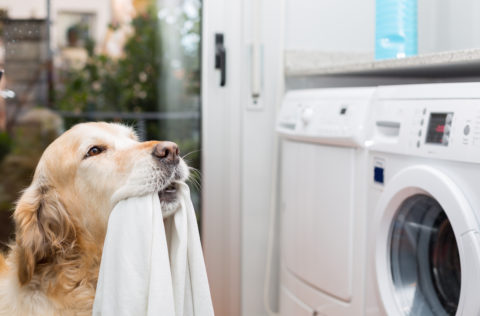 Golden Retrieve helps with laundry by holding a white towel in his mouth.